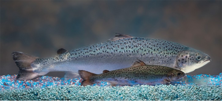 AquaBounty claims that AquAdvantage salmon grow twice as fast as wild salmon.