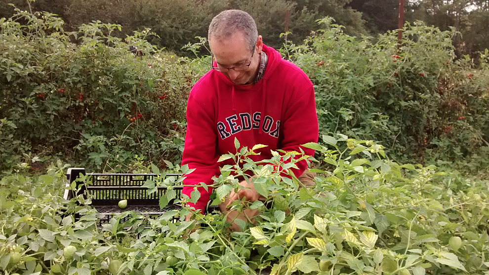 David Greenberg picks tomatillos in a field overlooking the Cogmagun River.