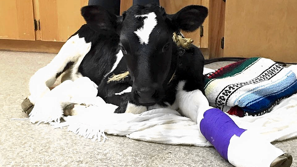 Beyonc 233 The Calf Recovers From Broken Leg The Signal