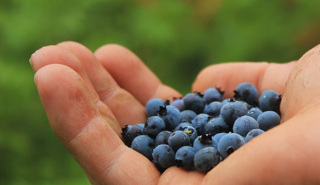 A handful of cultivated blueberries.