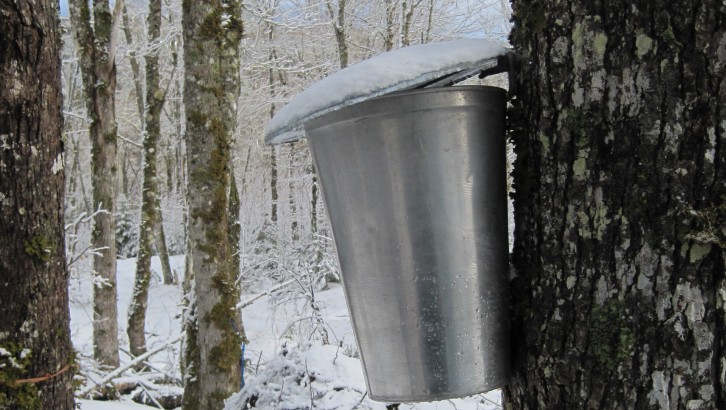 A sap bucket collects sap from a tree on Margaret and Curtis Pyke's farm.