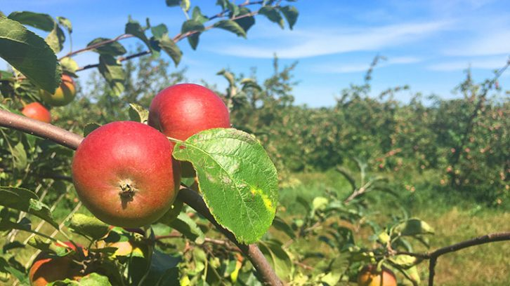 Redfree organic apples at Boates Farm