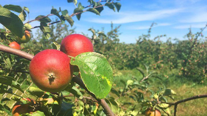 Redfree organic apples at Boates Farm