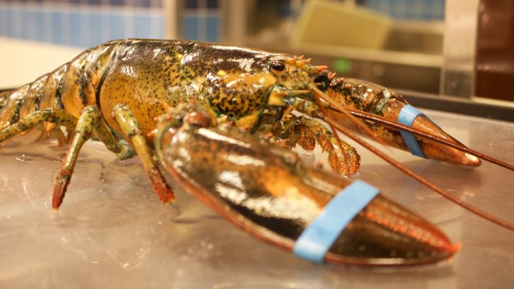 A live lobster ready for sale.