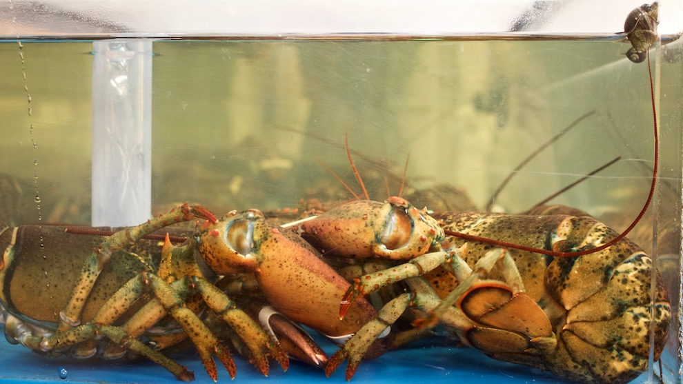 Lobsters piled in a tank.