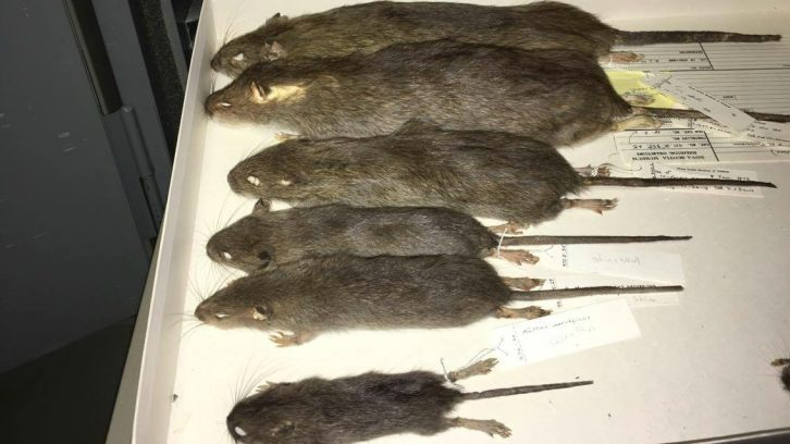 Rat specimens between one and eight months old
