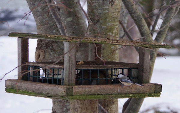 A chickadee, also a year-round resident, is a little wary of the squirrel hogging the bird feeder. Chickadees are extremely hardy and will sing even during blizzards.