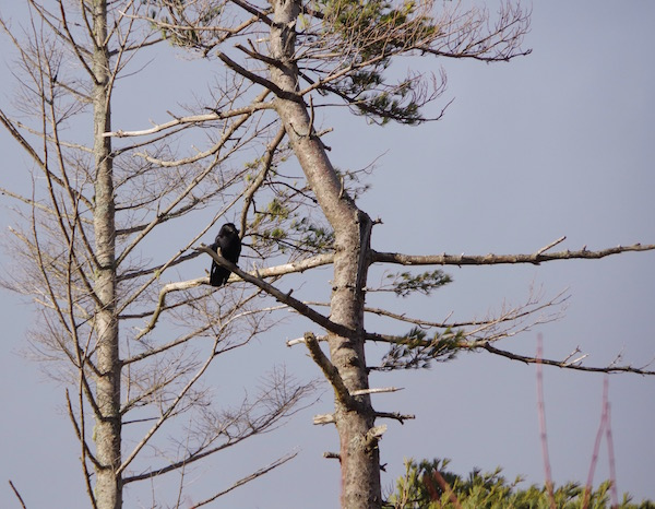 American Crows are year-round resident of Nova Scotia. Learn more in our full show.
