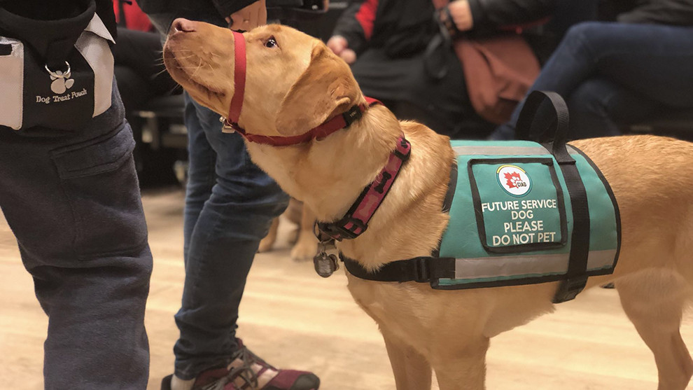 One of the service dogs watches its owner.