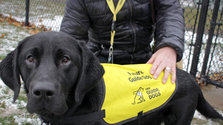 11-month-old Lewis practices wearing his guide dog bib put on by foster Daniel O'Brien