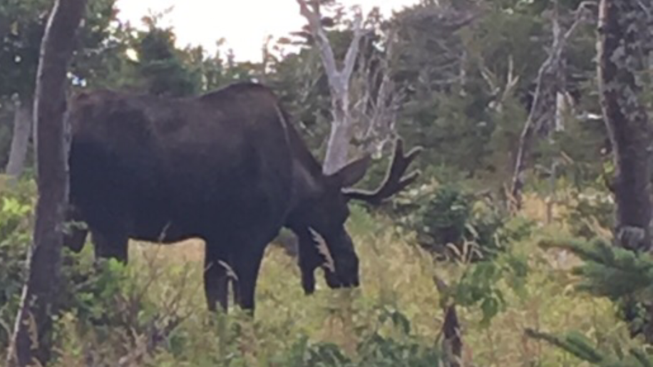 A moose on the Skyline Trail within the Cape Breton Highlands National Park. Taken August 2018.