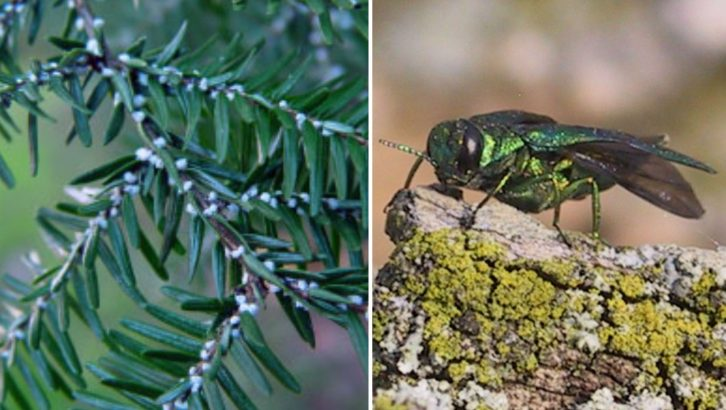 Hemlock woolly adelgid and the emerald ash borer are new to Nova Scotia's ecosystems and pose a risk to the province's forests.