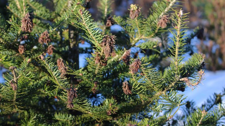 The tips of the balsam firs are evidence of damage from the frost.