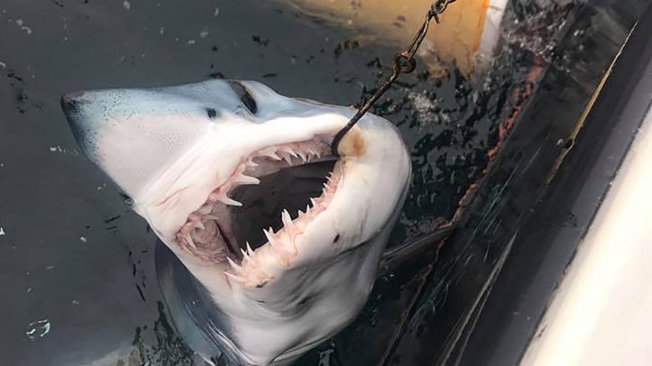 A blue shark is seen at the side of Gaetan's boat.