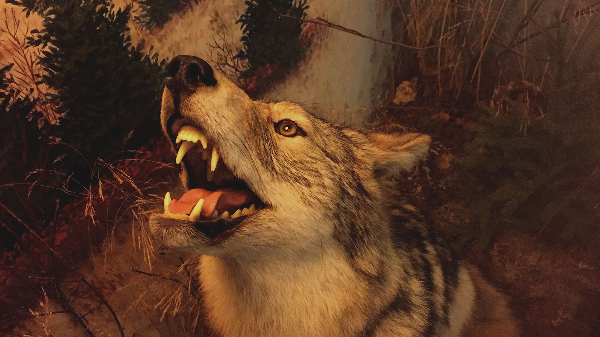 The eastern coyote or coywolf display found at the Nova Scotia Museum of Natural History.