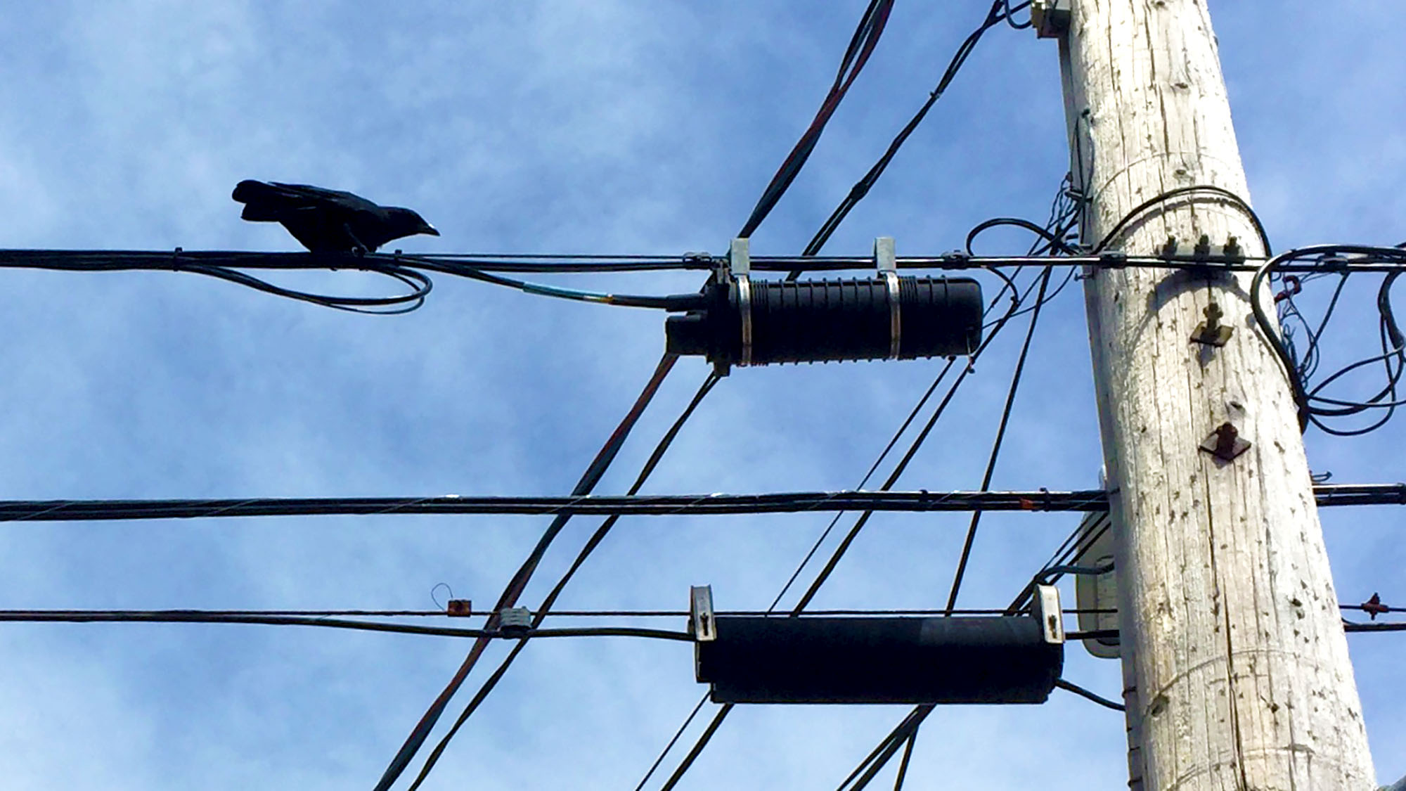 A crow walks along a Novia Scotia power line.