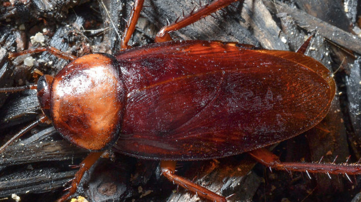 A german cockroach is pictured. They are the fastest reproducing cockroach in the world.