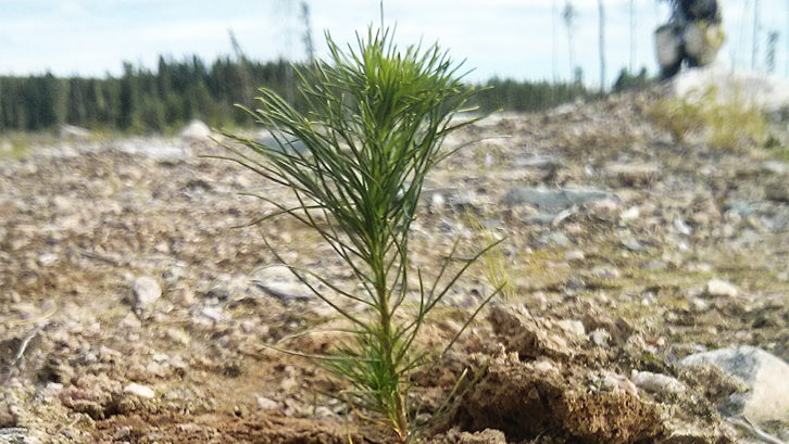 A pine tree sapling planted in Sioux Lookout Ont.