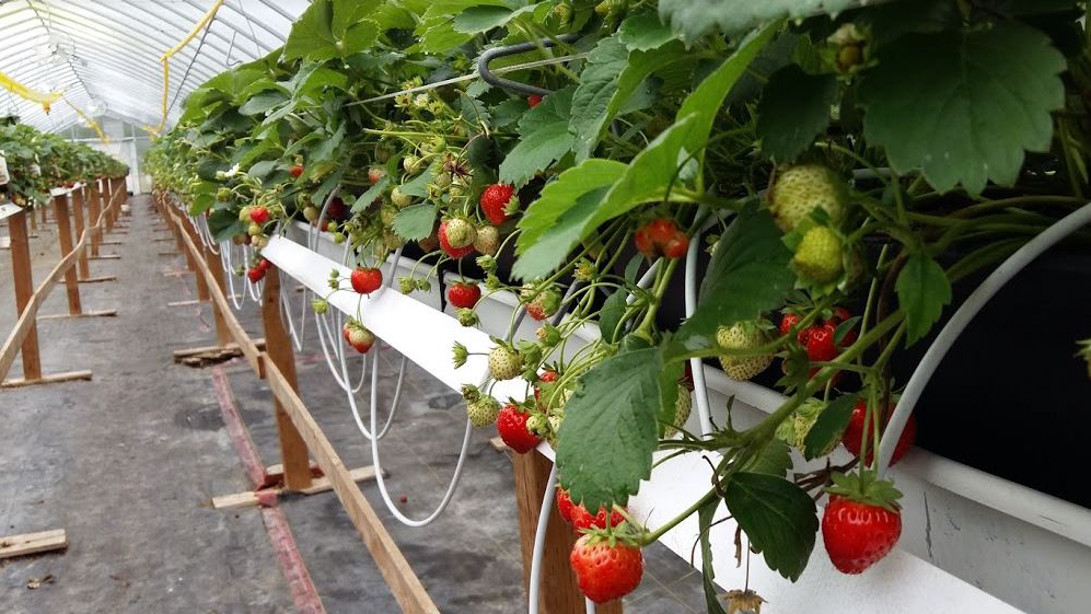 Strawberries grow inside a FarmWorks-funded greenhouse.