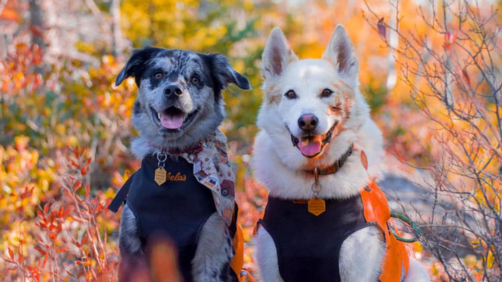 Wesson (left) was treated for marijuana toxicity after eating what his owner thinks was an edible left on the trail in Cole Harbour Heritage Park.